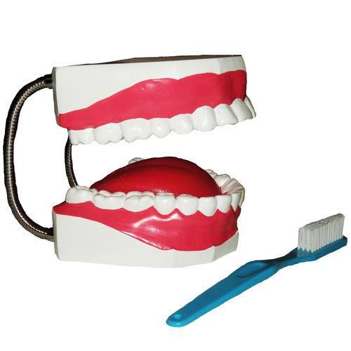 Arcada Dentária com Língua e Escova Anatomic - Código: Tzj-0312-b