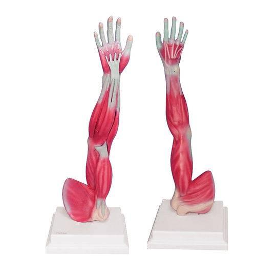 Braço Musculado Anatomic - Tgd-4010