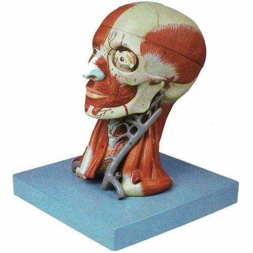 Cabeça com Músculos em 10 Partes Anatomic - Tzj-0300-a