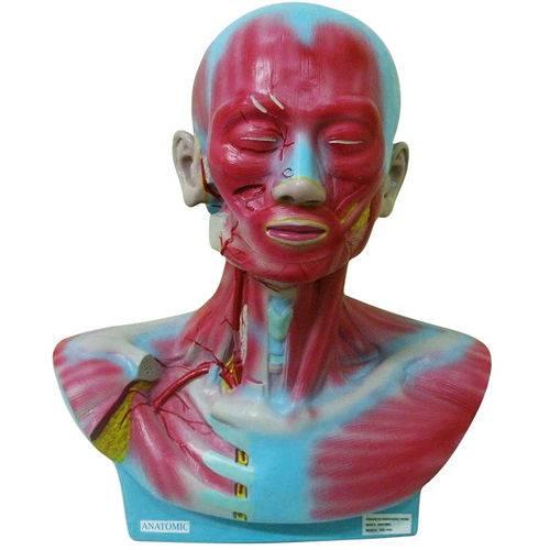 Cabeça e Pescoço Musculado Anatomic - Tgd-4006