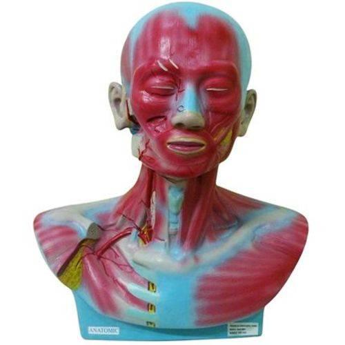 Cabeça e Pescoço Musculado Modelo Anatômico