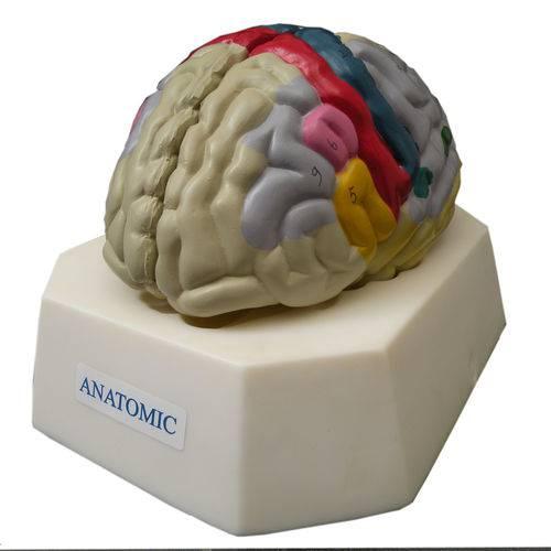 Cérebro com Região Funcional do Córtex - Anatomic - Cód: Tzj-0303-f
