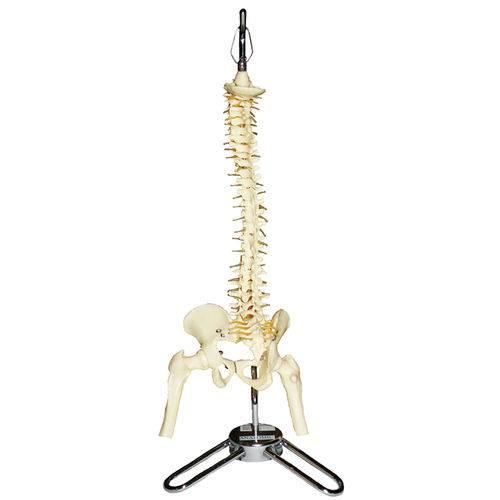 Coluna Vertebral 50cm - Anatomic - Cód: Tgd-0141