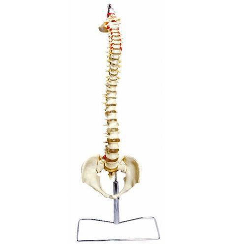 Coluna Vertebral Flexível Anatomic - Tgd-0148-a