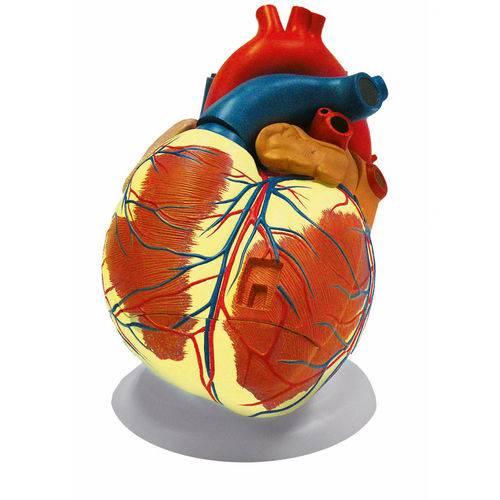 Coração Ampliado com 3 Partes - Anatomic - Cód: Tzj-0321-b