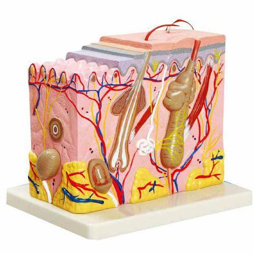 Corte de Pele (modelo em Bloco Ampliado 70x) Anatomic - Tzj-0331-a