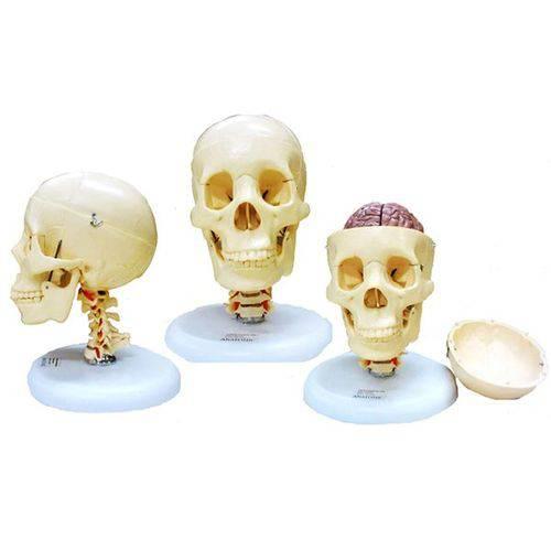 Crânio com Coluna Cervical e Cérebro Anatomic - Tgd-0103-f