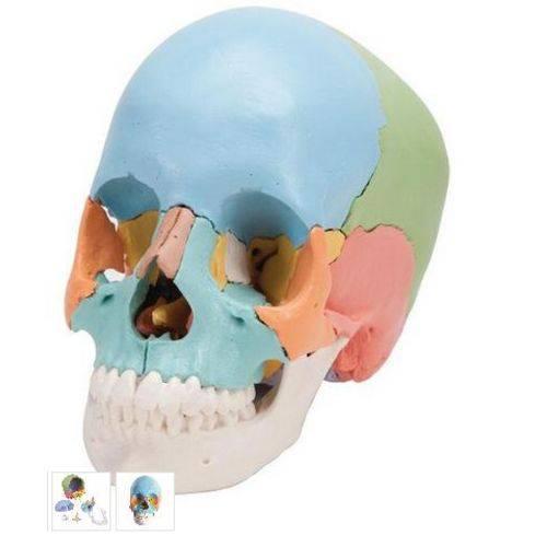 Crânio Explodido - 22 Partes / Cores Didáticas - 3b Scientific - Cód: 1000069