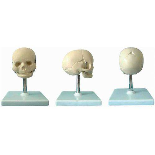 Crânio Fetal Anatomic - Tgd-0102-c