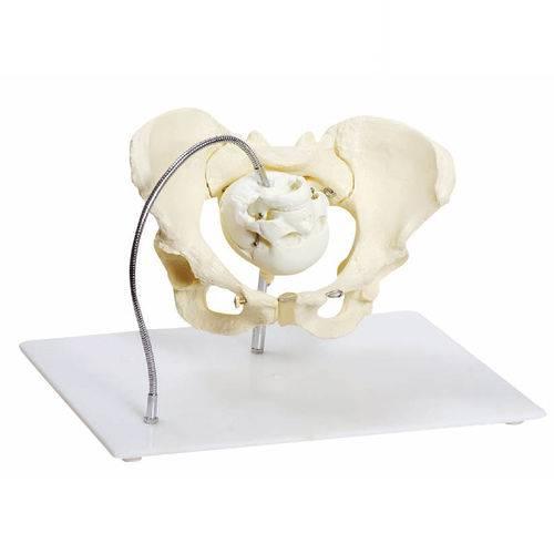 Demonstração da Pélvis no Momento do Parto Anatomic - Tgd-0371