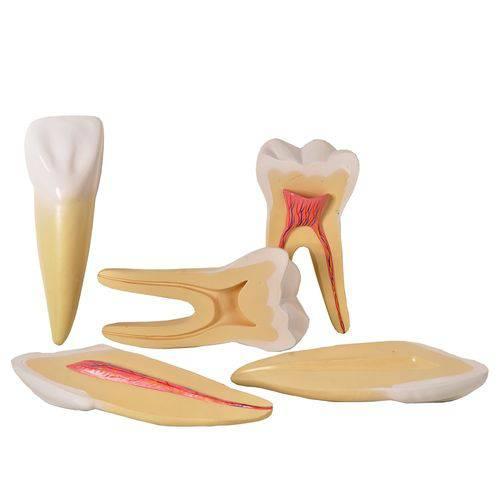 Dentes Ampliados-Canino,Incisivo e Molar Modelo Anatômico
