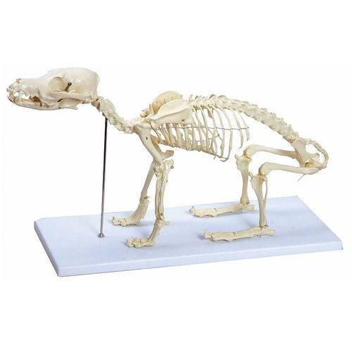 Esqueleto de Cachorro - Anatomic - Código: Tgd-0601