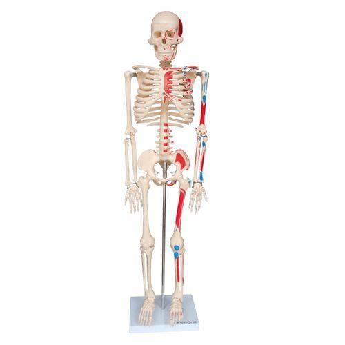 Esqueleto Humano 85 Cm Articulado com Inserções Musculares com Base