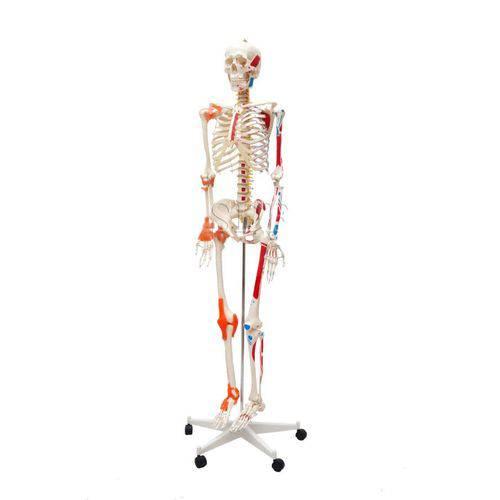 Esqueleto Humano Padrão 1,70c/Articulação Inserções Muscular e Suporte e Rodas