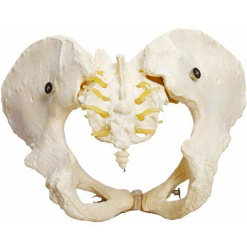 Esqueleto Pélvico Feminino Anatomic - Tgd-0169-b