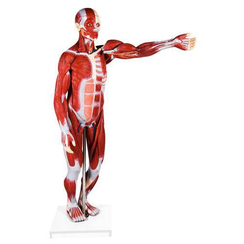 Figura Muscular Assexuada 170 Cm com 27 Partes com Órgãos Internos Anatomic - Tzj-4000-a