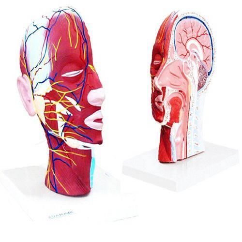 Metade da Cabeça com Musculatura e Corte Mediano Anatomic - Tzj-0304