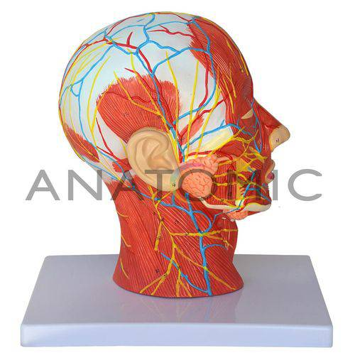 Metade da Cabeça com Musculatura em Corte Mediano Tzj-0304 - Anatomic