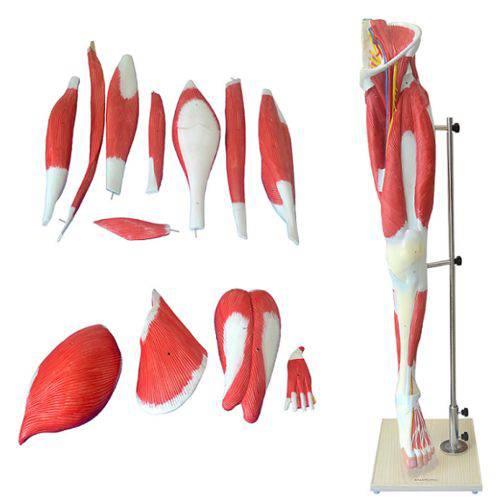 Músculo do Membro Inferior