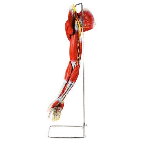 Músculos do Membro Superior com os Principais Vasos e Nervos Anatomic - Tzj-4010-a