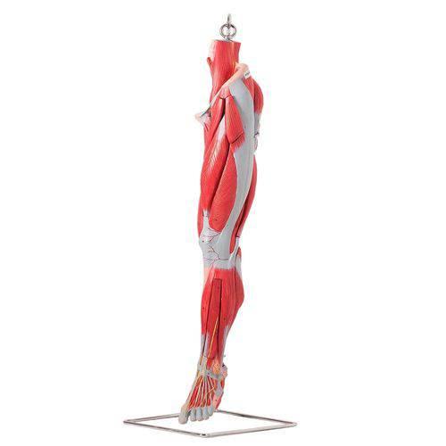 Músculos Membro Inferior Principais Vasos e Nervos em 10 Partes