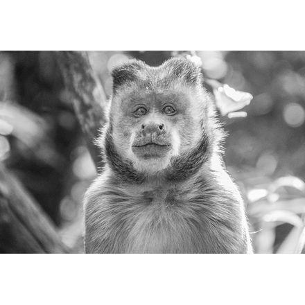 Retrato do Macaco - 45 X 30 Cm - Papel Fotográfico Fosco