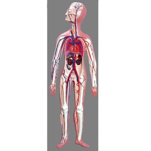 Sistema Circulatório Anatomic - Tzj-0328-d