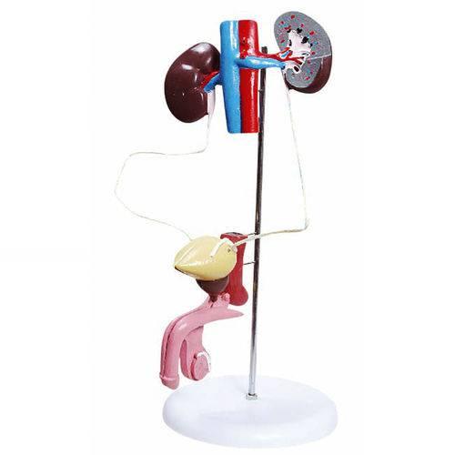 Sistema Urinário Masculino com 6 Partes Anatomic - Tgd-0328-b
