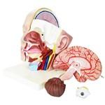 Cabeça com 4 Partes Anatomic - Tzj-0300
