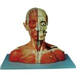 Cabeça e Pescoço com Vasos, Nervos e Cerebro - Anatomic - Cód:tzj-4006-a