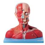 Cabeça e Pescoço Musculoso, Vasos, Nervos e Cérebro 19 Partes