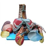 Cavidade Torácica 17 Partes - Anatomic - Cód: Tzj-0319-t