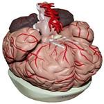 Cérebro com Artérias com 9 Partes Anatomic - Tzj-0303-a