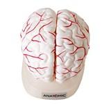 Cérebro em 8 Partes, Modelo Anatômico, Crânio