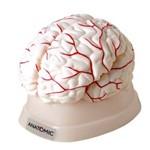 Cérebro em 8 Partes Modelo Anatômico