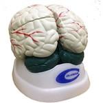 Cérebro 3 Partes