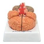 Cérebros com Artérias em 9 Partes Modelo Anatômico