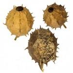 Chá Buchinha do Norte 1kg Prosaúde