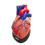 Coração Ampliado em 5 Partes Modelo Anatômico