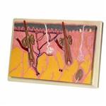 Corte de Pele (modelo em Lâmina Ampliado em 70 Vezes) Anatomic - Tzj-0331-b