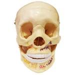 Crânio Clássico com Mandíbula Aberta Anatomic - Tgd-0102-b