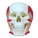Crânio com Músculos da Mastigação Modelo Anatômico