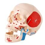 Crânio com Origem e Inserção Muscular em 2 Partes