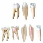 Dentes Ampliados - Canino, Incisivo e Molar Anatomic - Tgd-0311-a