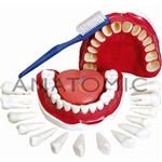 Dentição com Todos os Dentes Removíveis Modelo Anatômico