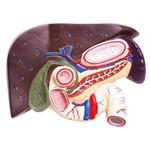 Fígado com Vesícula Biliar, Pâncreas e Duodeno Anatomic - Tzj-0329-b