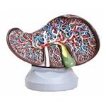 Fígado Luxo Anatomic - Tzj-0324-b