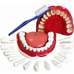 Modelo de Dentição com Todos os Dentes Removíveis Anatomic - Tgd-0312-c