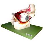 Olho em Órbita Ampliado com 11 Partes Anatomic - Tzj-0307-b