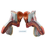 Órgão Genital de Masculino Dividido em 5 Partes - Anatomic - Código: Tzj-0353-e
